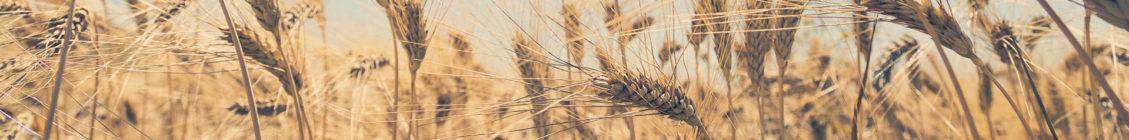 campo-di-grano---MaDeLab